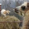11-23-16: Llama, with goat.