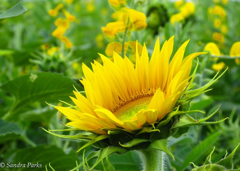 9-24-16: sunflowers