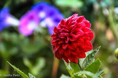 9-27-16: Naked Creek28-16: dahlia in my garden
