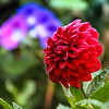 9-27-16: Naked Creek28-16: dahlia in my garden
