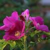 10-29-16: Bank Street roses