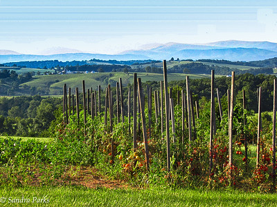 8-23-16: Tomatoes, and the Alleghenies.