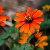 10-19-16: Last of the zinnias