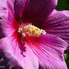 7-25-16: ROse of Sharon