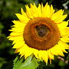 8-11-16: Sunflower, East Bank
