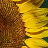8-12-16: Sunflower, Bank Street
