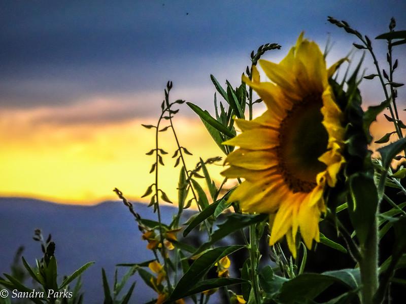 10-4-16:  Sunflowers at sunset.