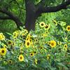 7-26-16: sunflowers, on Mole Hill