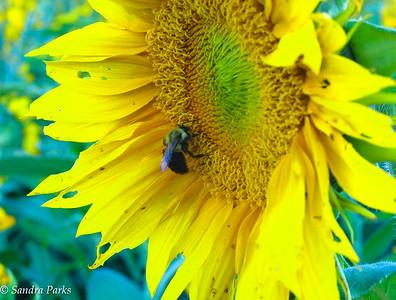 9-27-16: Sunflowers