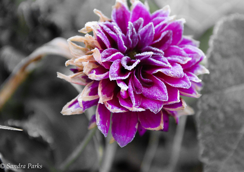 11-8-16: dahlia, with frost.