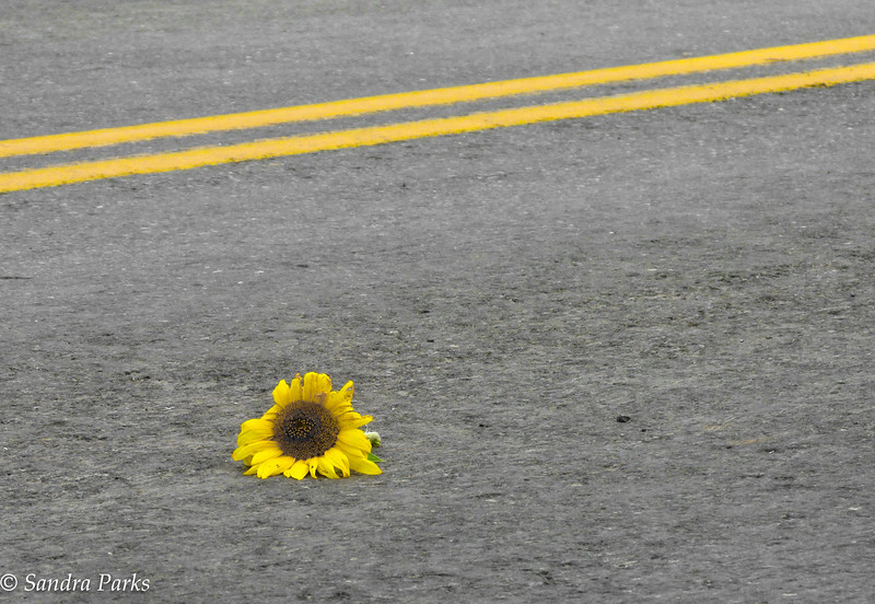 9-2-16. sunflower, in the road.