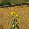 9-18-16: Sunflower, Mole Hill