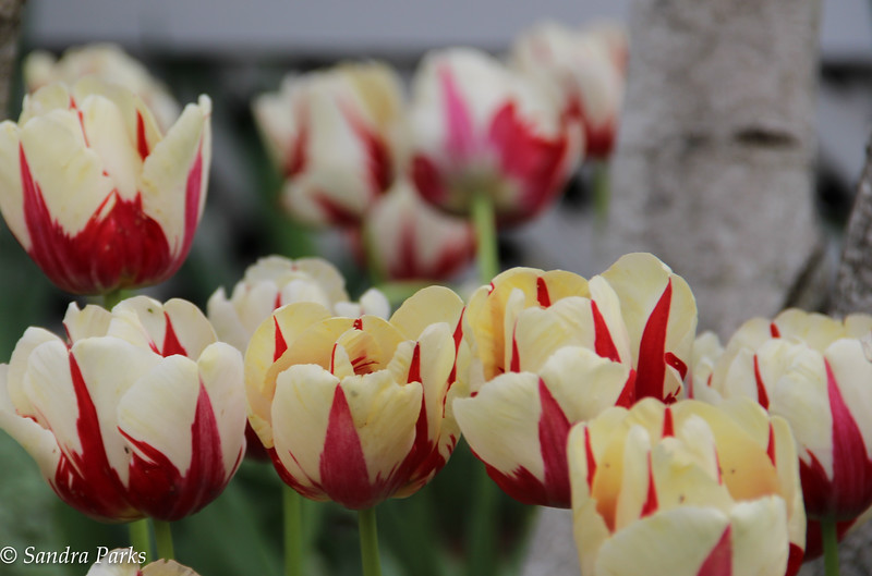 4-28-16: Bank Street tulips (thanks, RIck and Lee)