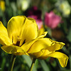 4-19-16: Municipal tulip