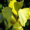 5-19-16: Roadside lily