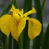 5-1-16: return of the yellow Iris, at Wildwood