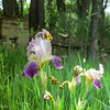 5-30-16: Abandoned irises, Union Church ROad