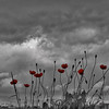 5-3-16: Poppies before a storm