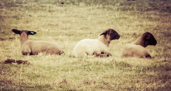 3-19-17: three sheep