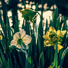 3-29-17: Daffodils over the Dry River.