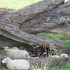 Sheep nesting