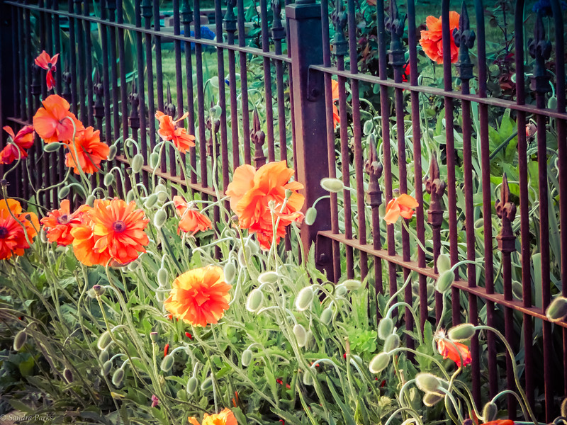 4-28-17: poppies, High Street