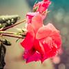 9-20-17: raindrops on roses