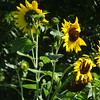 7-25-17: Mole Hill sunflowers