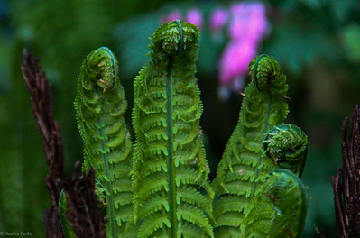 4-18-17: fiddleheads.