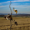 2-21-17: Milkweed on a barbed wire fence, Badger Road