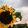 8-23-17: Sunflowers at sunset