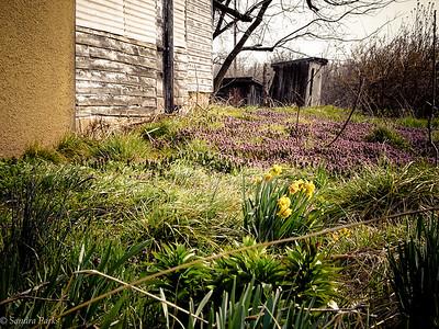 3-25-17: Abandoned daffodils, Dry River