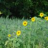 6-28-17:  sunflower field