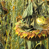 11-18-17: Sunflower