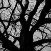 1-6-17 : the oldest tree in Bridgewater. White oak, circa 1700