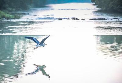 8-16-18 : Heron in the mornin'