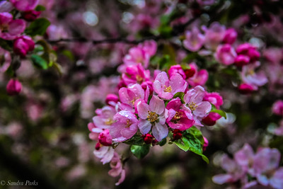 4-19-18: Flowering cherry, on the morning coffee walk.