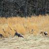 1-21-18: Wild Turkeys, Roman Road