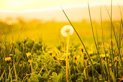 4-18-18: Dandelion at sunset