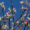 3-3-18: Tulip magnolias