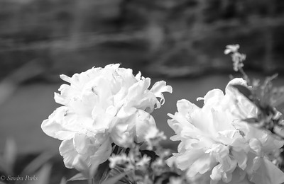 5-21-18: Peonies, East Bank