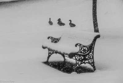 3-12-18: Three ducks and a bench.