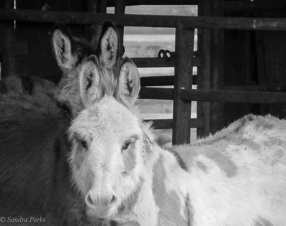 2-9-18: Donkey ears