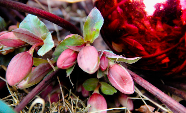 2-13-18: Lenten rose