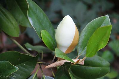 6-21-18: Magnolia