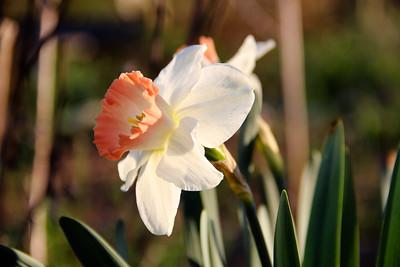 4-14-18: Daffodil