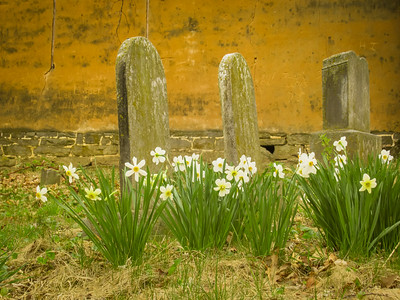 4-15-18: Daffodils on the graves, Old Salem Church