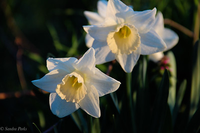 4-20-18: Daffodils in the morning