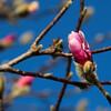 3-4-18: Tulip magnolias