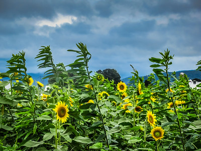 9-15-18: Sunflowers, Dry River